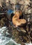 Leoni marini sulle rocce Fotografia Stock Libera da Diritti