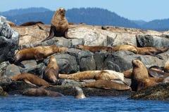 Leoni marini sulle rocce Fotografie Stock