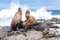 Leoni marini sulle rocce, La Jolla, California Fotografia Stock