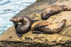 Leoni marini sulle rocce, La Jolla, California Immagini Stock