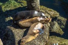 Leoni marini sulle rocce, Monterey, California Fotografia Stock
