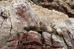 Leoni marini Ushuaia Fotografie Stock Libere da Diritti