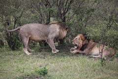 Leoni maschii nel Kenia Fotografie Stock Libere da Diritti