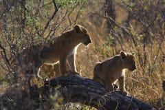 Leoni nel Botswana Fotografia Stock
