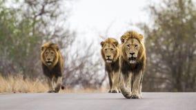 Leoni nel parco nazionale di Kruger, Sudafrica Immagine Stock