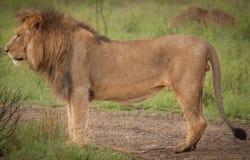 Leoni nel selvaggio in Kwazulu Natal Fotografia Stock