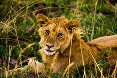 Leoni nel Serengeti Immagini Stock