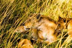 Leoni nel Serengeti Fotografia Stock Libera da Diritti