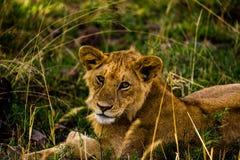 Leoni nel Serengeti Fotografia Stock