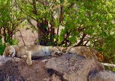 Leoni nel Serengeti Immagini Stock Libere da Diritti