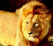 Leoni nel Serengeti Immagine Stock