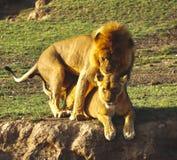 Leoni nel Serengeti Fotografie Stock