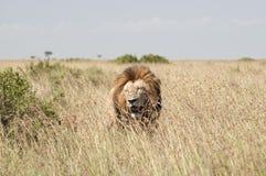 Leoni nella savanna di Mara del Masai, Kenia Fotografie Stock Libere da Diritti