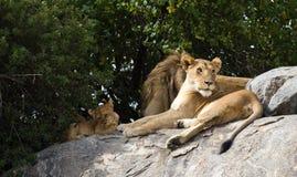 Leoni su un safari nella sosta nazionale di Serengeti Fotografia Stock