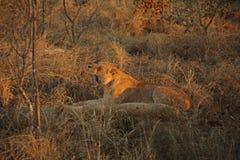 Leoni sul safari, sabbie di Sabie Fotografia Stock