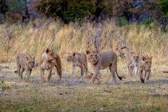 Leoni sulla caccia Fotografia Stock