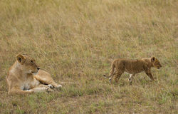 Leoni sulla savana africana in masai Mara Fotografia Stock Libera da Diritti