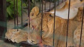 Leoni in una gabbia La leonessa sta riposando nell'uccelliera dello zoo, un gruppo di leoni che riposano nell'uccelliera stock footage