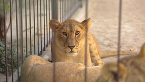 Leoni in una gabbia La leonessa sta riposando nell'uccelliera dello zoo, un gruppo di leoni che riposano nell'uccelliera video d archivio