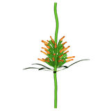 Leonotis Stock Photo