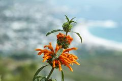 Leonotis leonurus flower in South Africa Royalty Free Stock Images