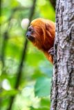 A Leontopithecus rosalia in a tree. Looking at an other monkey royalty free stock image