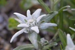 Leontopodium royalty-vrije stock afbeeldingen