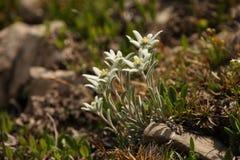 Leontopodium alpinum lizenzfreies stockfoto