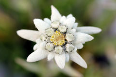 leontopodium alpinum edelweiss Στοκ φωτογραφίες με δικαίωμα ελεύθερης χρήσης