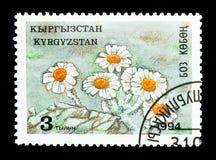 Leontopodium del crisantemo, fiori dell'alta montagna dello Tyan-Shan s Immagine Stock Libera da Diritti