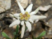 leontopodium edelweiss alpinum Стоковые Изображения RF