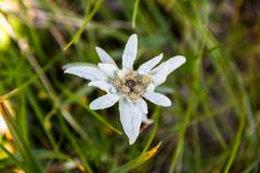 Leontopodium nivale or edelweiss, closeup. This mountain flower belongs to the daisy or sunflower family Asteraceae. Its leaves and flowers are covered with stock photo