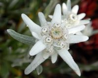 Leontopodium nivale, edelweiss mountain flower macro royalty free stock photography