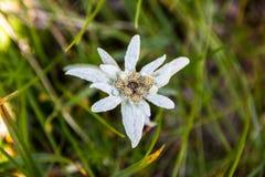 Leontopodium nivale lub szarotka, zbliżenie Ten halny kwiat należy stokrotki lub słonecznika rodziny Asteraceae zdjęcie stock