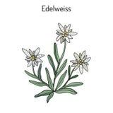 Leontopodiumalpinum van het edelweiss Royalty-vrije Stock Foto
