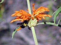Leonurus salvaje del Leonotis del dagga con la abeja Imagen de archivo
