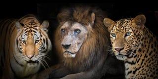 Leopad delle tigri del leone Fotografia Stock Libera da Diritti