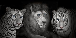 Leopad delle tigri del leone Immagini Stock Libere da Diritti