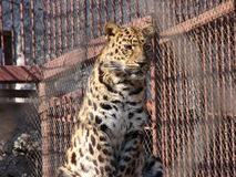 Leopard Леопард. Leopard in the cage (zoo Royalty Free Stock Image