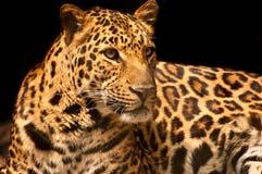 Leopard över svart Royaltyfria Bilder
