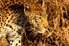 leopard άμμοι sabi Στοκ Εικόνες