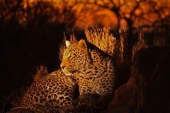 leopard άμμοι sabi Στοκ Φωτογραφία