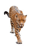 leopard ανασκόπησης πέρα από το λευκό Στοκ Εικόνες