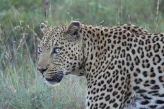 leopard αρσενικό Στοκ Εικόνες