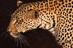 leopard γατών σαβάνα η μικρότερη Στοκ φωτογραφία με δικαίωμα ελεύθερης χρήσης