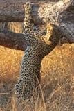 leopard δέντρο Στοκ Φωτογραφία