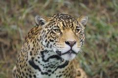 Leopard επάνω στενό Στοκ Εικόνες