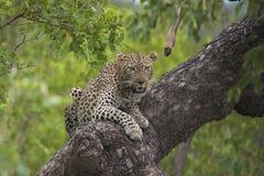 leopard επιφυλακή Στοκ εικόνες με δικαίωμα ελεύθερης χρήσης