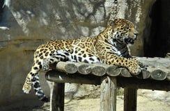leopard ζωολογικός κήπος Στοκ φωτογραφία με δικαίωμα ελεύθερης χρήσης