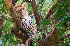 leopard ισχυρό Στοκ Φωτογραφία